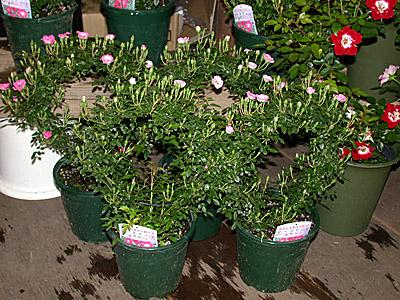 Japan Rose Market