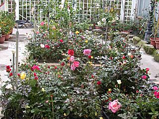 Fragrance Rose Garden