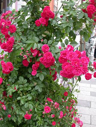 Rosa multiflora Rambler