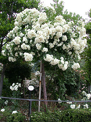 Summer Snow Tree